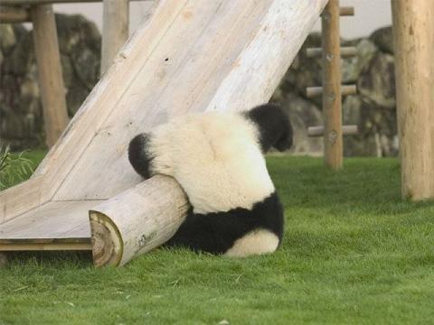 Panda Fallen